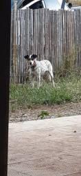 Cachorra Castradae Vacinada para Adoção