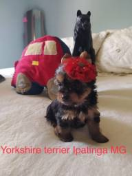 Vende filhote de yorkshire fêmea