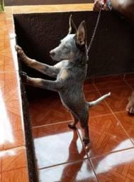 Cão filhote, raça Blue Heeler.