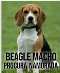 Beagle disponível pra cruzar