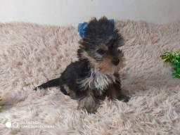 Lindo yorkshire terrier . Valor de oportunidade! Pronto para um novo lar