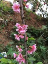 Mudas De Cerejeira Japonesa (sakura Okinawa) Retirar no Local