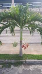 Muda de palmeira manila