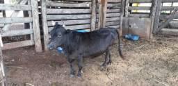 Vaca mini