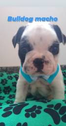 Belíssimo bulldog francês