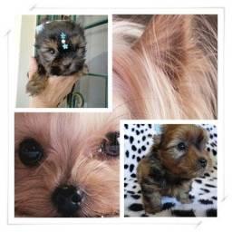 Yorkshire Terrier amorosos filhotes