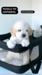 Poodle Toy femea e macho