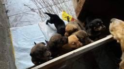 Filhotes de Rotwaillee com Labrador