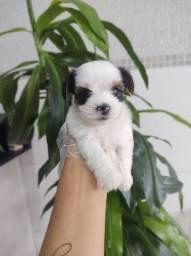 Biewer Terrier todas as cores em 12x sem juros, temos 12 clinicas veterinárias