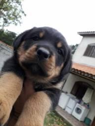 CanilCityPet filhotinhos de Rottweiler altíssima linhagem pgto facilitado