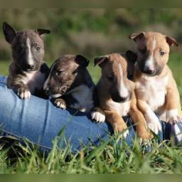 Bull terrier fêmeas e machinhos já vacinados com todas garantias em contrato