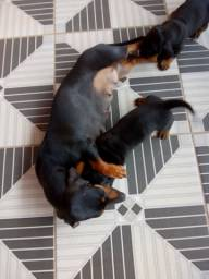 Basset dachshund