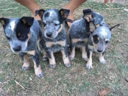 Filhotes de Brurriler boiadeiro australiano disponível