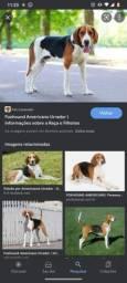 Título do anúncio: A procura de um cachorro macho beagle ou fox