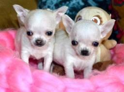 Chihuahua o menor cão do mundo!