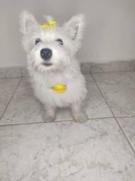 Título do anúncio: West highland white terrier machos e femeas, a pronta entrega