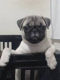 Pug  filhote disponível