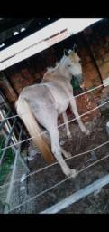Título do anúncio: Vendo égua boa de verdade pra reproduzir