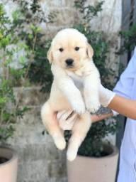 Golden Retriever com suporte veterinário gratuito