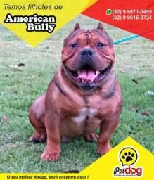 Temos Lindos Filhotes de American Bully de Alta Genética (whats 82 9 9671-0455) Pet Dog