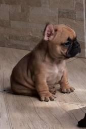 Maravilindo Filhote de Bulldog Francês ( MACHO )