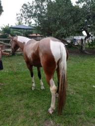 Vendo égua com 3 anos e meio de picado 5 mil reais