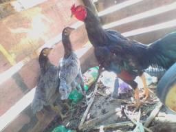 2 galinha e1 galo MORA