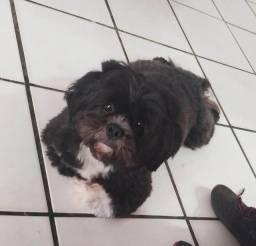 Cachorro shih-tzu procurando namorada