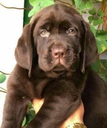 Filhotes de Labrador excelente oportunidade..pedigree