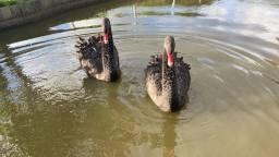 Cisne negro casal