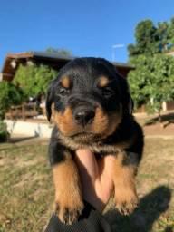 CanilCityPet filhotinhos de Rottweiler do mais alto nível c pagto facilitado
