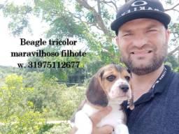Beagle tricolor maravilhoso filhote