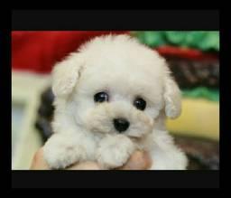 Poodle toy bem pequeno