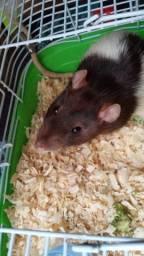 Rato de Estimação