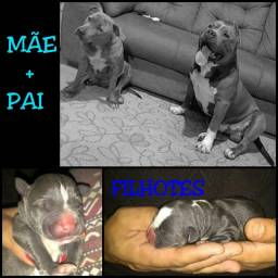 Título do anúncio: Filhotes de  American Staffordshire Terrier