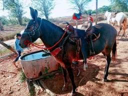 Vendo uma mula boa e mansa