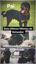 Filhote de Rottweiller