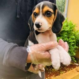 Título do anúncio: Filhotes de Beagle Disponiveis