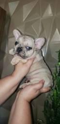 Título do anúncio: Bulldog francês Merle filhotes ?