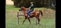 Título do anúncio: Cavalo Árabe - Reprodutor das melhores linhagens do mundo