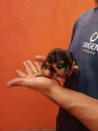Pinscher filhote macho um mês de vida