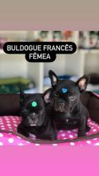 Título do anúncio: Bulldog francês filhotinhos, femeas e machinhos disponíveis!