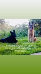 Filhotes de pastor alemão linhagem de trabalho cães de guarda