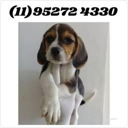 Filhotes de Beagle tricolor machos e fêmeas disponíveis...