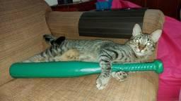 Doação Gato tigrado macho, castrado e vacinado