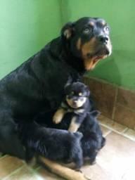 Rottweiler grandões lindões