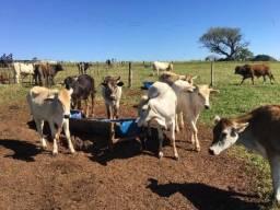 Bezerra novilha boi vaca novilha