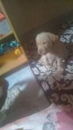 Vendo lindo filhote de Labrador