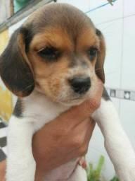 Beagle Femea 1.500