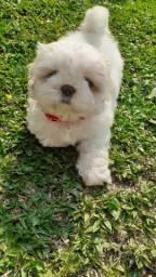 Shitzu com 3 meses de vida